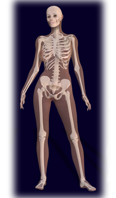 Human skeletal system (female left, male right)
