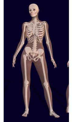 Female human skeleton