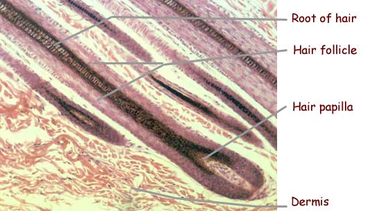 Under The Microscope Hair On Left Was Precisely Cut By A Razor