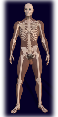 Male Human Skeleton