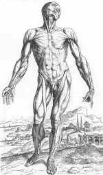 Vesalius's muscular body