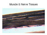 muscle nerve tissues