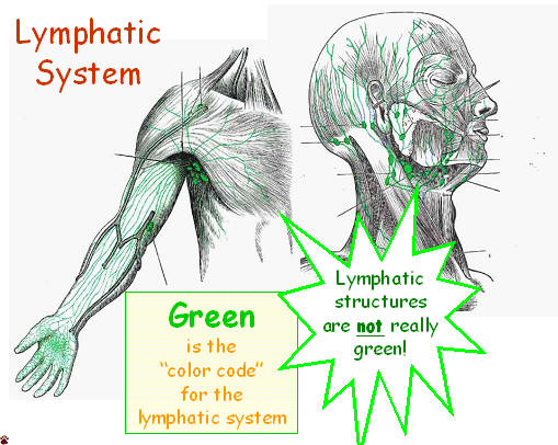 lymphatic color code