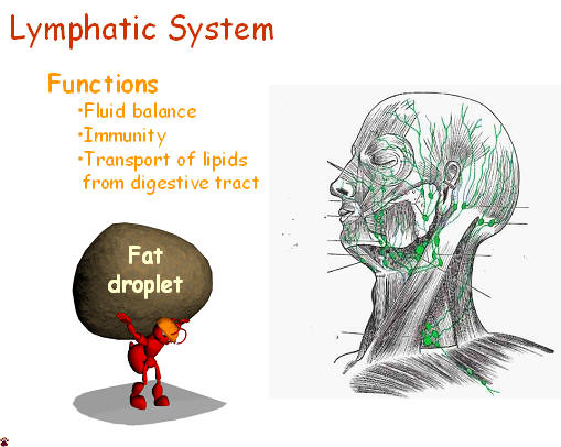 lymphatic functions