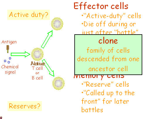 immune cell activation